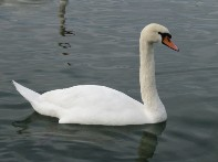 Photo de grand cygne gratuite